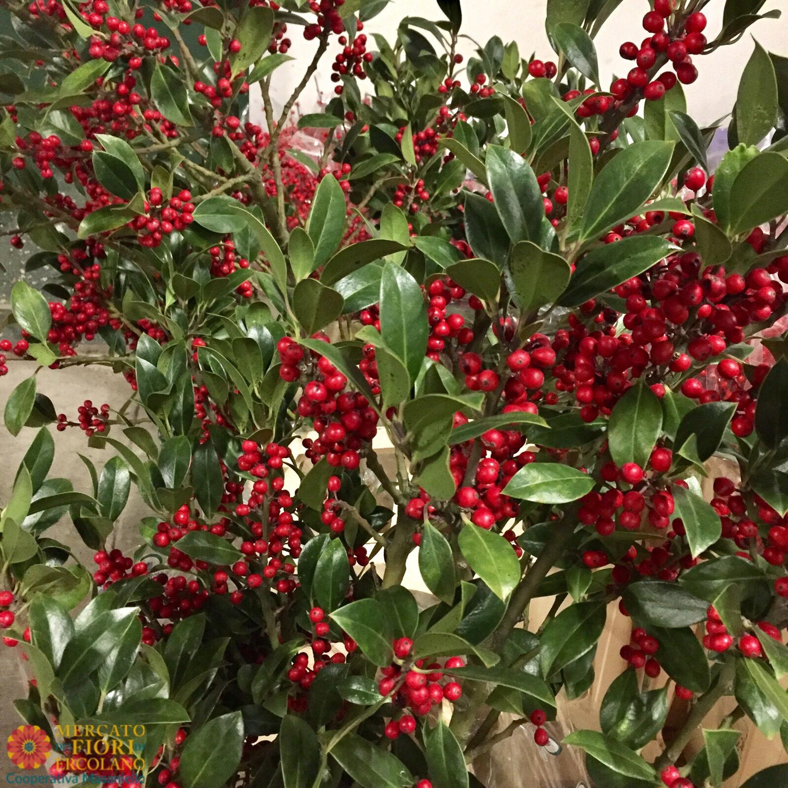 Pungitopo Decorazioni Natalizie.Le Piante Di Natale Mercato Dei Fiori Di Ercolano