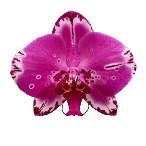 """Phalaenopsis: il """"Fiore Farfalla"""""""