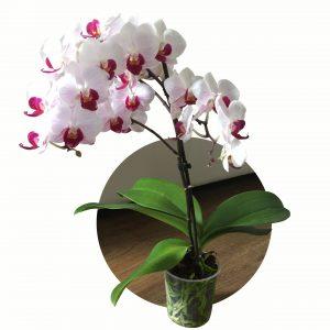 Come curare le orchidee Phalaenopsis in casa?