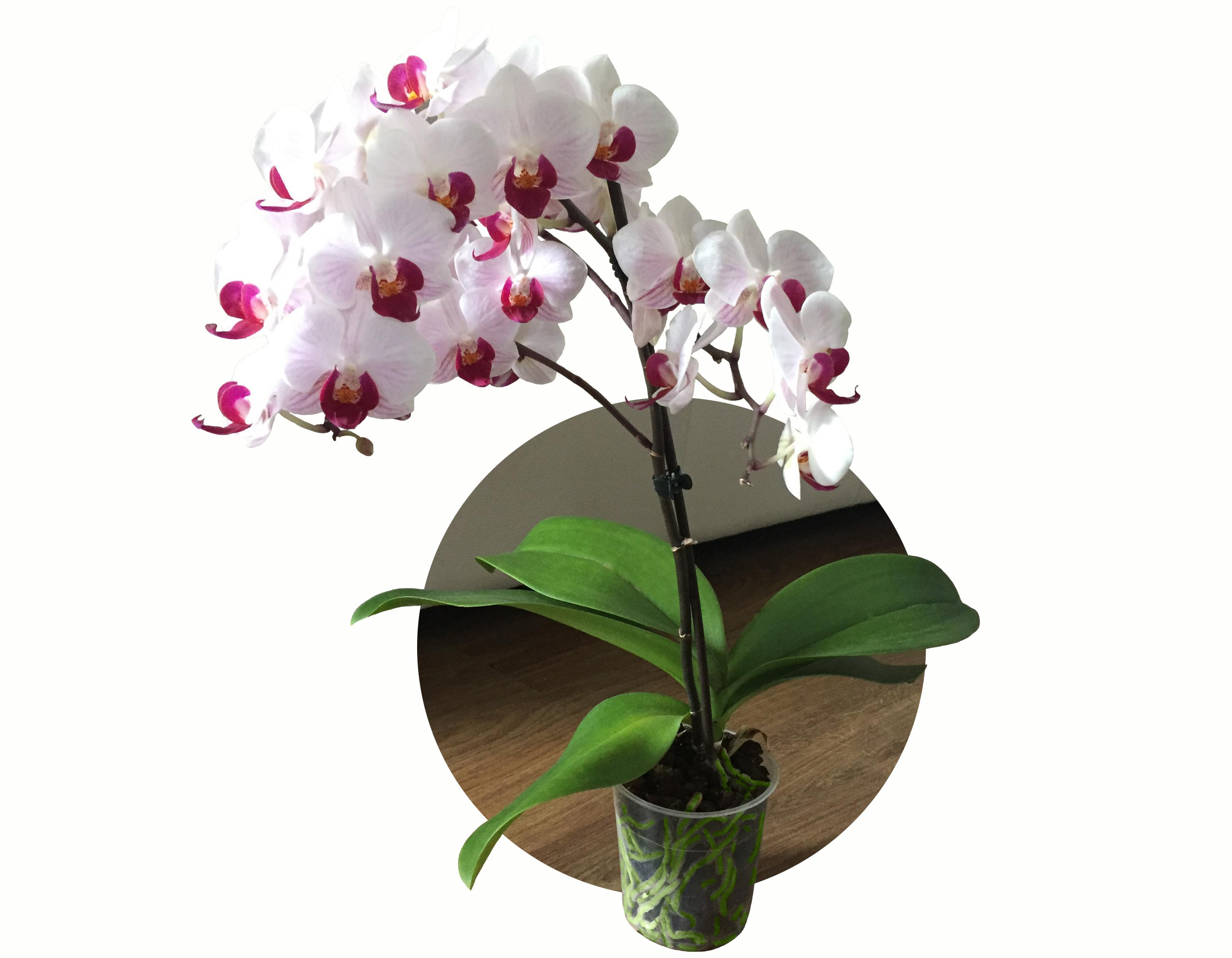 Come Curare Le Piante come curare le orchidee phalaenopsis in casa? - mercato dei