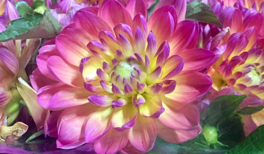 La Dalia: Il Fiore dai Mille Volti